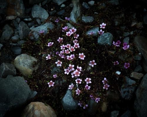 Purple saxifrage, Svalbard, 2017.