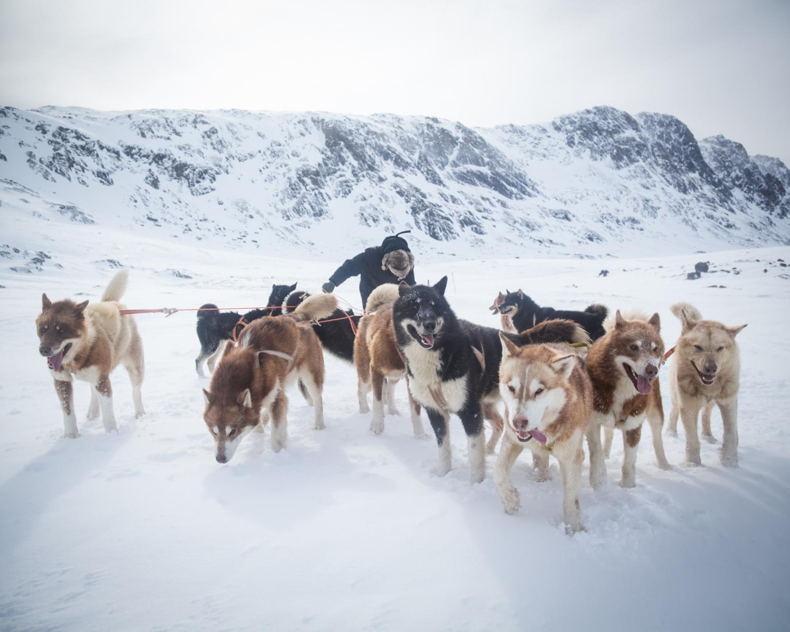 A hunter prepares his dog team near Sisimiut, West Greenland. 2016.
