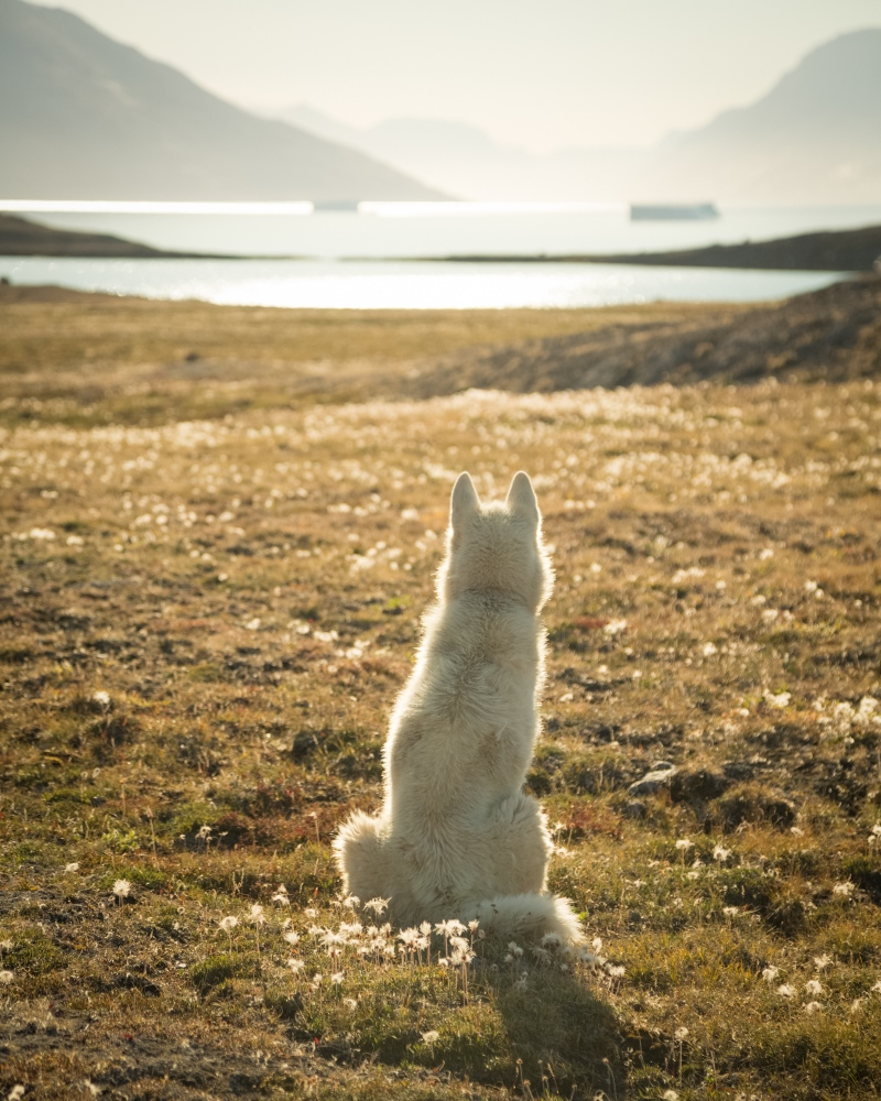 A sled dog belonging to the Sirius Sledge Patrol takes in the landscape of Ella Ø.East Greenland, 2016.
