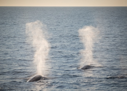 A pair of fin whales surface off the coast of East Greenland. 2017.