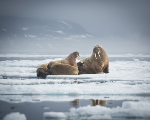 Walrus rest on the sea ice near the Seven Islands, Svalbard, 2017.