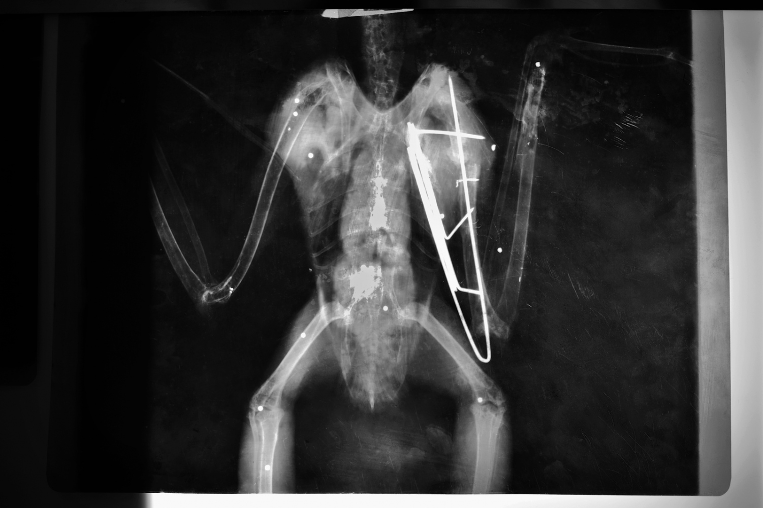 There are some unoficial projects to attend wild fauna population to recover and stabilize species. X-Ray to a royal owl where could see remnants of shotgun pellet, one of the mortality factors of birds.