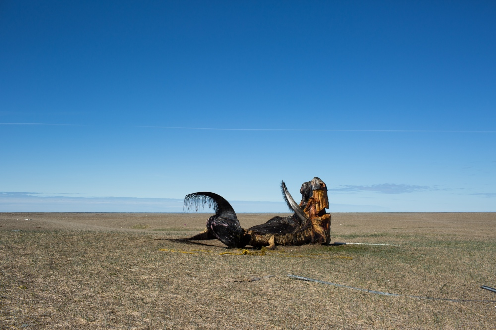 Part of the whale struck by Chris Apassingok with his father, the captain of his crew, in April 2017, on the lawn outside of his family home. Shares from a whale like this one are stored and also given to other members in the community and family members in other parts of Alaska.