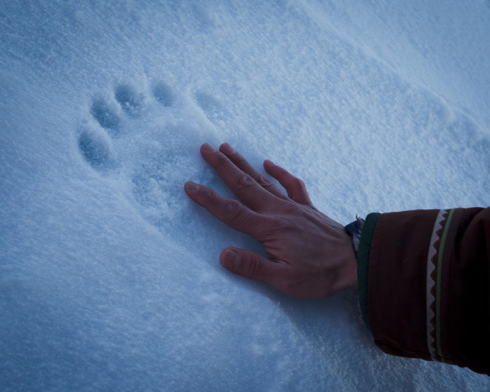 Joe Kigutaq measures a polar bear track near Nanisivik on north Baffin Island.Nunavut, 2014.