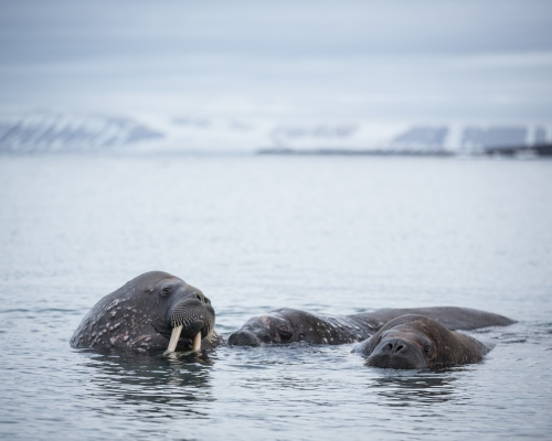 Walrus near their haulout at Poolepynten. Svalbard, 2016.