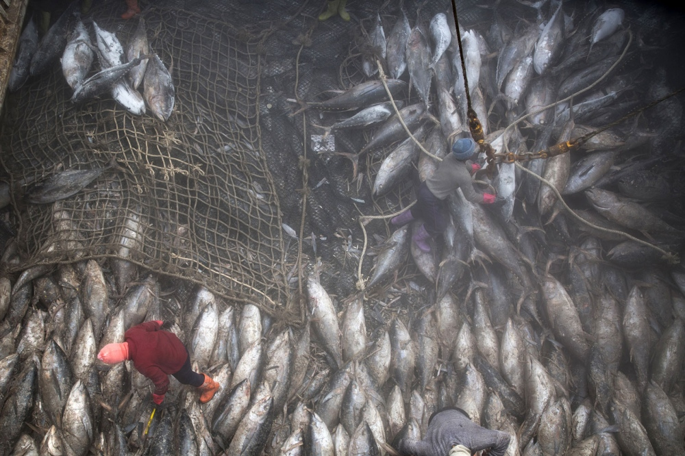 Thai workers pull tuna into nets in the hold, where the temperature is minus 22 degrees Celsius. The large ship is docked just outside Bangkok and will spend one week unloading hundres of tonnes of tuna. Each frozen skipjack carcass weighs about 40 kilograms (88 pounds); one ton of skipjack fetches about $1,600 on the wholesale market.  Samut Prakan, Thailand