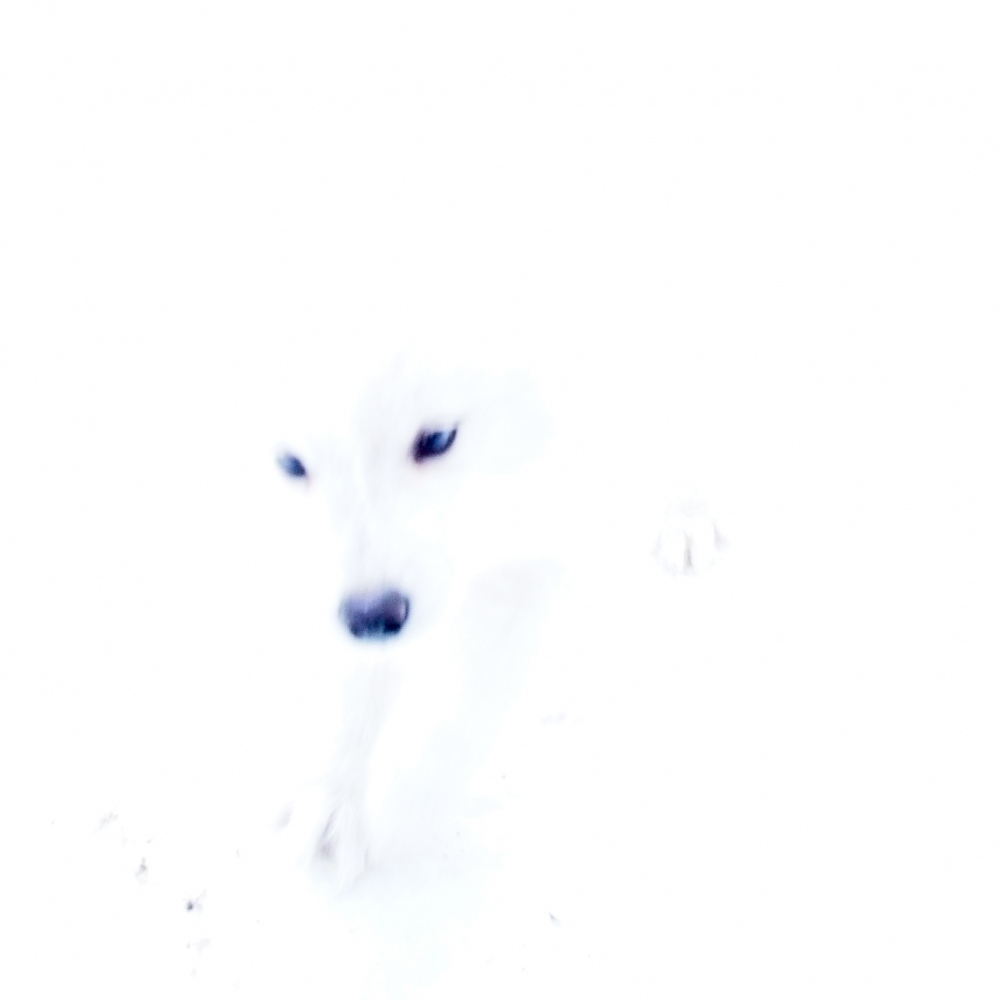 Rjukan, Norway, 2015. A white dog plays on the snow.