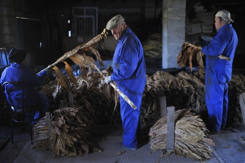 This plant production isso-called as social-grow because requires more humanlabor, so the disappearance of these plantations will bring more unemployment to a beaten country.