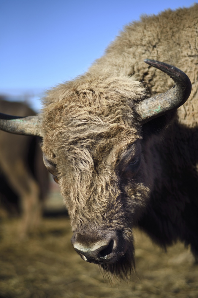Formerly Europeanbison domains reached Western Asia, but it was disappearing as a result of massive hunting, intensive logging and the clearing of forests for agriculture and grazing, reducing the original habitat of these animals.