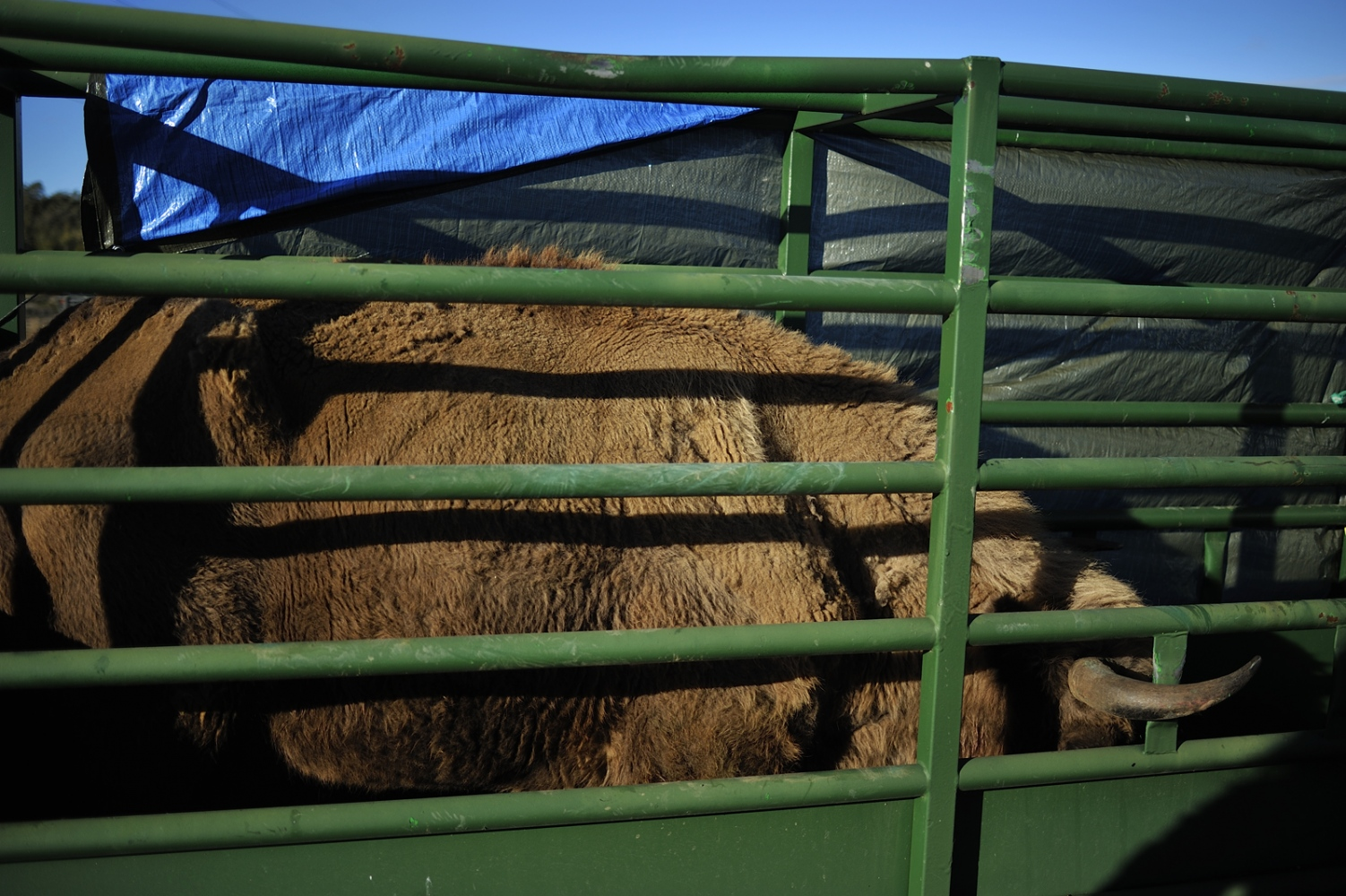 The European Bison Genetic Data Bank has created by species variability preservation.
