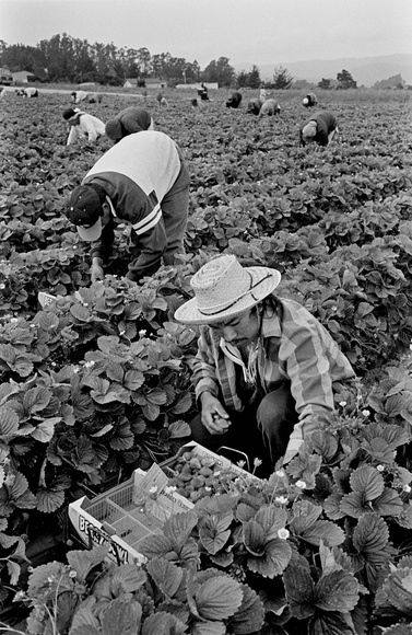 Mexican migrant farm workers pick strawberries. Watsonville, CA. 08.98
