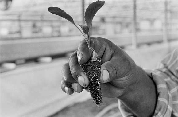 Pedro Flores holds up a sprouting brocoli plant. Pedro works in 120 degree heat inside an industrial farm green house where he usually works long hours. Mecca, CA. 2002