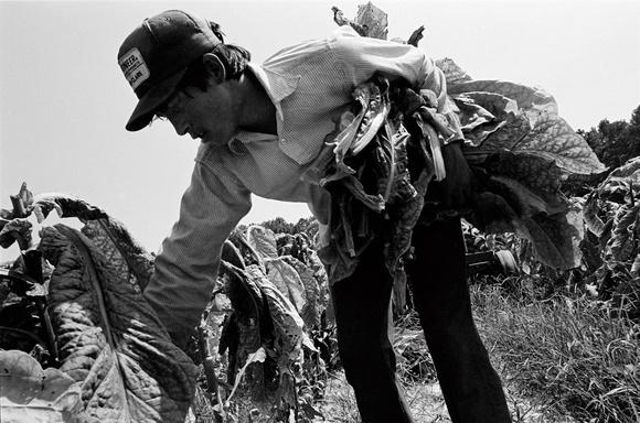Migrant worker picks tobacco. Raleigh. NC. 08.97