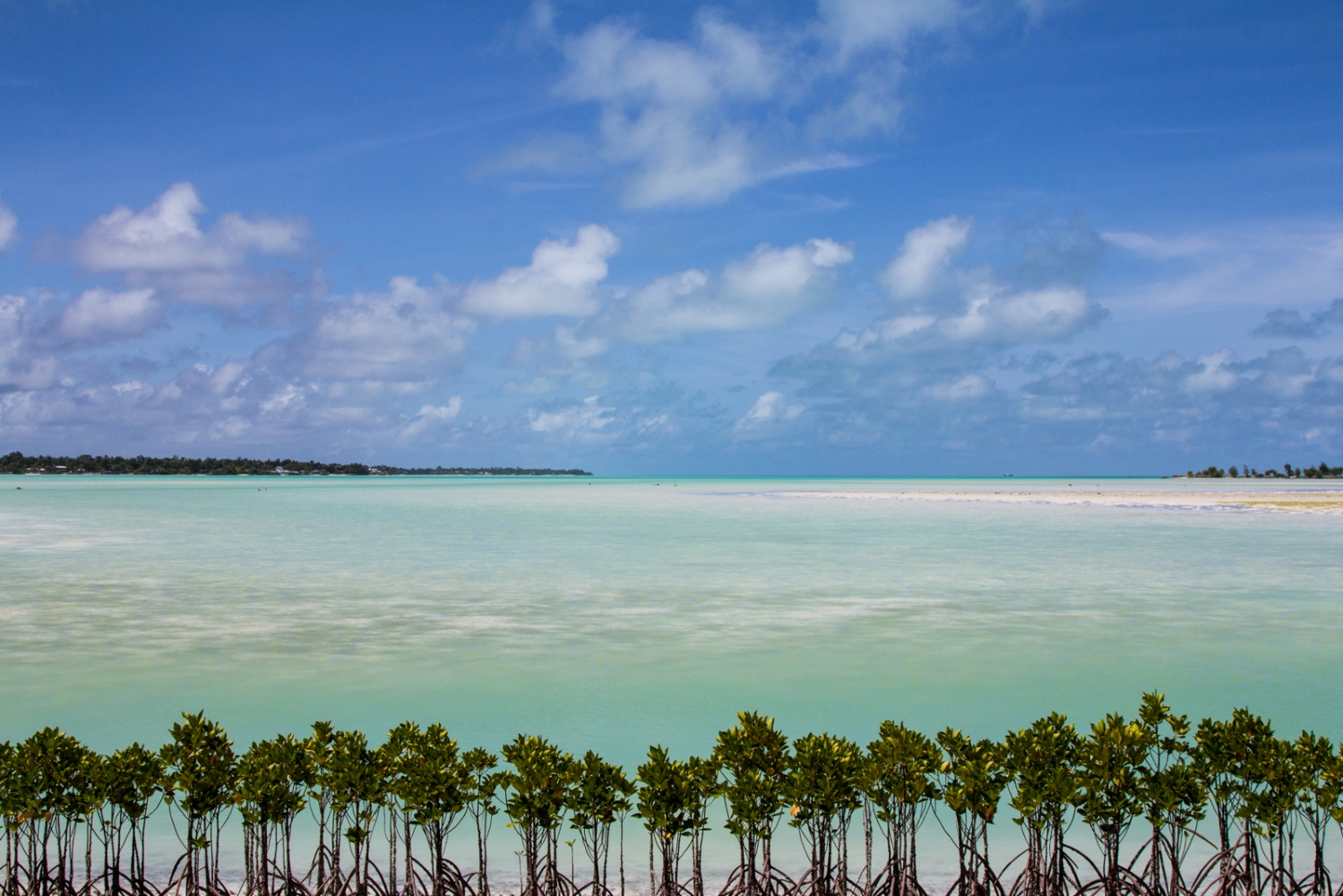 These newly planted mangroves are part of Kiribati's adaptive measures against sea-level rise. Kiribati's string of islands are some of the most vulnerable locations on Earth, as many islands do not reach 3m above sea level. Almost all mangrove forests are located in the developing world and are increasingly at risk and being cleared faster than terrestrial rainforests. With climate change impacts knocking on the doors of many nations such as Kiribati, mangroves play a key role. Mangroves are carbon sinks, act as buffer zones against waves during harsh storms and cyclones, hold coastal banks together limiting land erosion and also act as the coastlines Kidney's, filtering out pollutants, heavy metals and runoff sediment. Creating cleaner, clearer and healthier oceans.