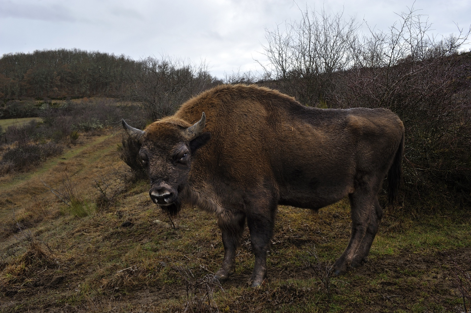 The bison population had increased by 13.6% since 2005, the total area covered by the wholepopulation had increased by 32%.