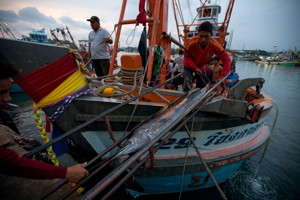 A catch of large sail fish is being unloaded from a Thai fishing trawler by Burmese fishermen at Phuket's main fishing port. Phuket, Thailand