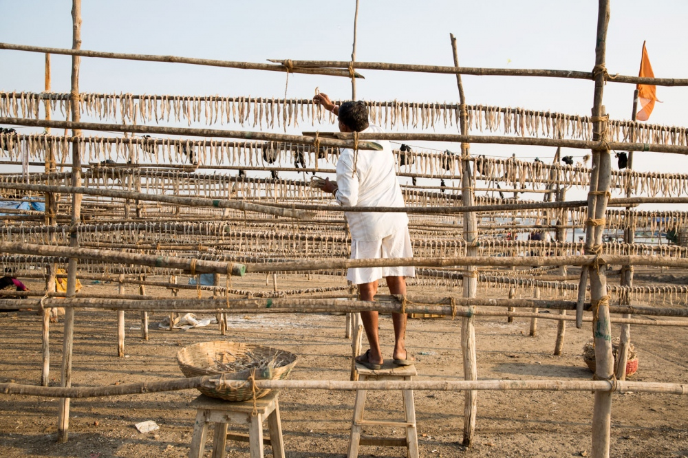 A local man hangs fish on long racks to dry them in the sun. This area on India's west coast is famous for its dried fish. Dahanu, India