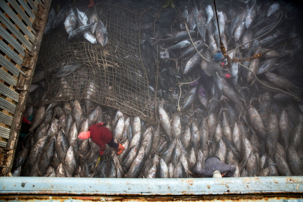 Thai workers pull tuna into nets in the hold, where the temperature is minus 22 degrees Celsius. The large ship is docked just outside Bangkok and will spend one week unloading hundres of tonnes of tuna.Each frozen skipjack carcass weighs about 40 kilograms (88 pounds); one ton of skipjack fetches about $1,600 on the wholesale market. Samut Prakan, Thailand