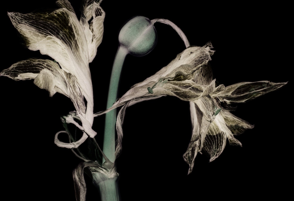 Art and Documentary Photography - Loading Dried-Amaryllis-(-001a)-2015.jpg