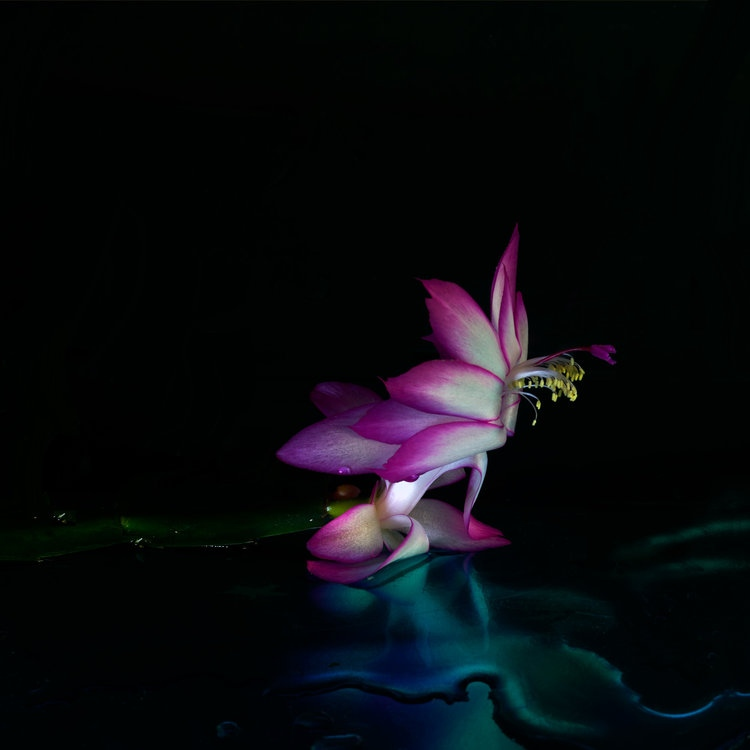 Art and Documentary Photography - Loading Flower-Cristmas-Cactus-1-2017-.jpg