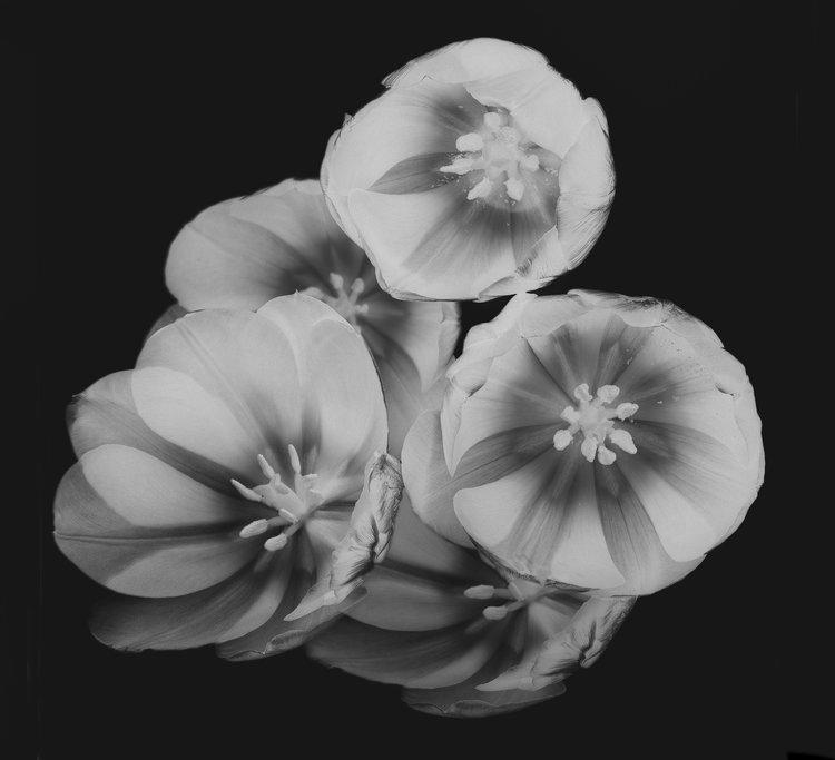 Art and Documentary Photography - Loading Flower-Tulip-6-invert-2017.-.jpg