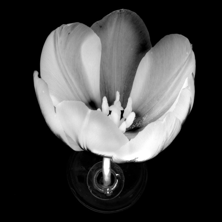 Art and Documentary Photography - Loading Flower-Tulip-7-b_w--invert1-2017.jpg