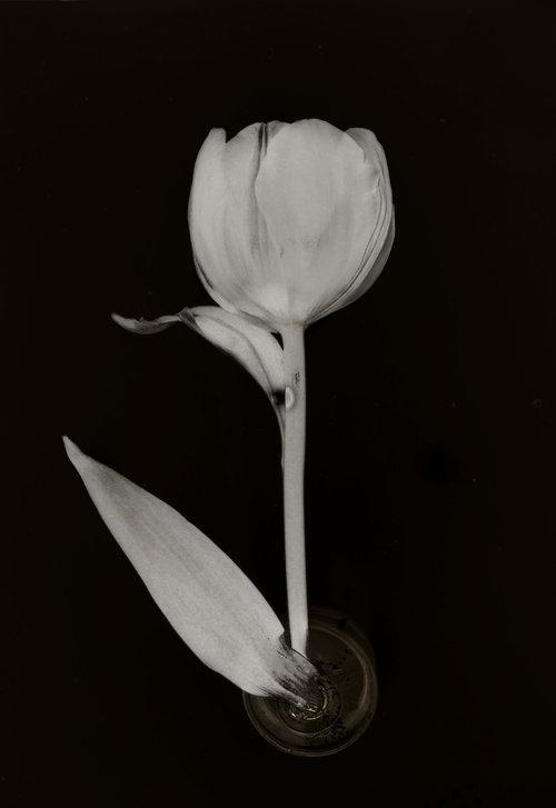 Art and Documentary Photography - Loading Flower-Tulip-9-2017.jpg
