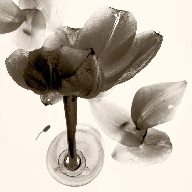 Art and Documentary Photography - Loading Flower-Tulip-10-2017.jpg