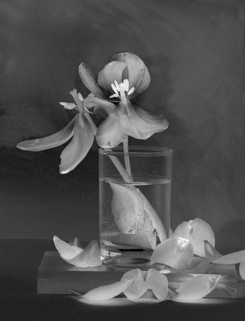 Art and Documentary Photography - Loading Flower-Tulip-14invert-2017.jpg