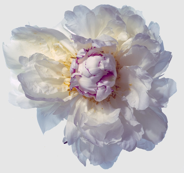 Art and Documentary Photography - Loading Flower-White-Peoni-6-2017.jpg