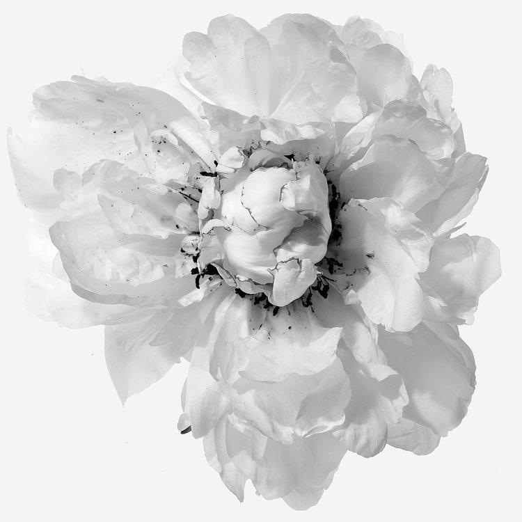 Art and Documentary Photography - Loading Flower-White-Peoni-6-B_W-2017.jpg