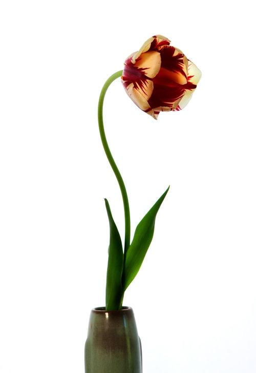 Art and Documentary Photography - Loading Flower_Tulip_2016.jpg