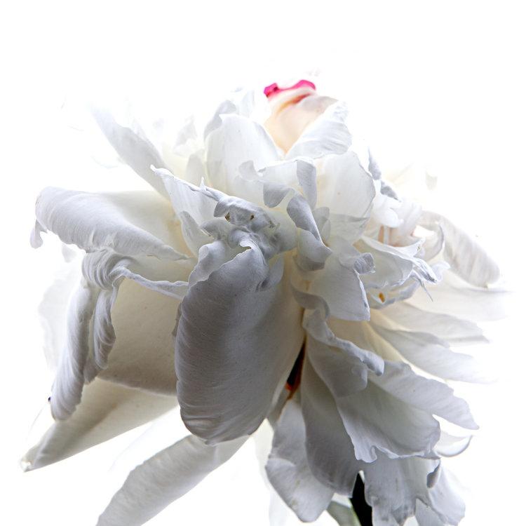 Art and Documentary Photography - Loading white-peoni-1ab.jpg