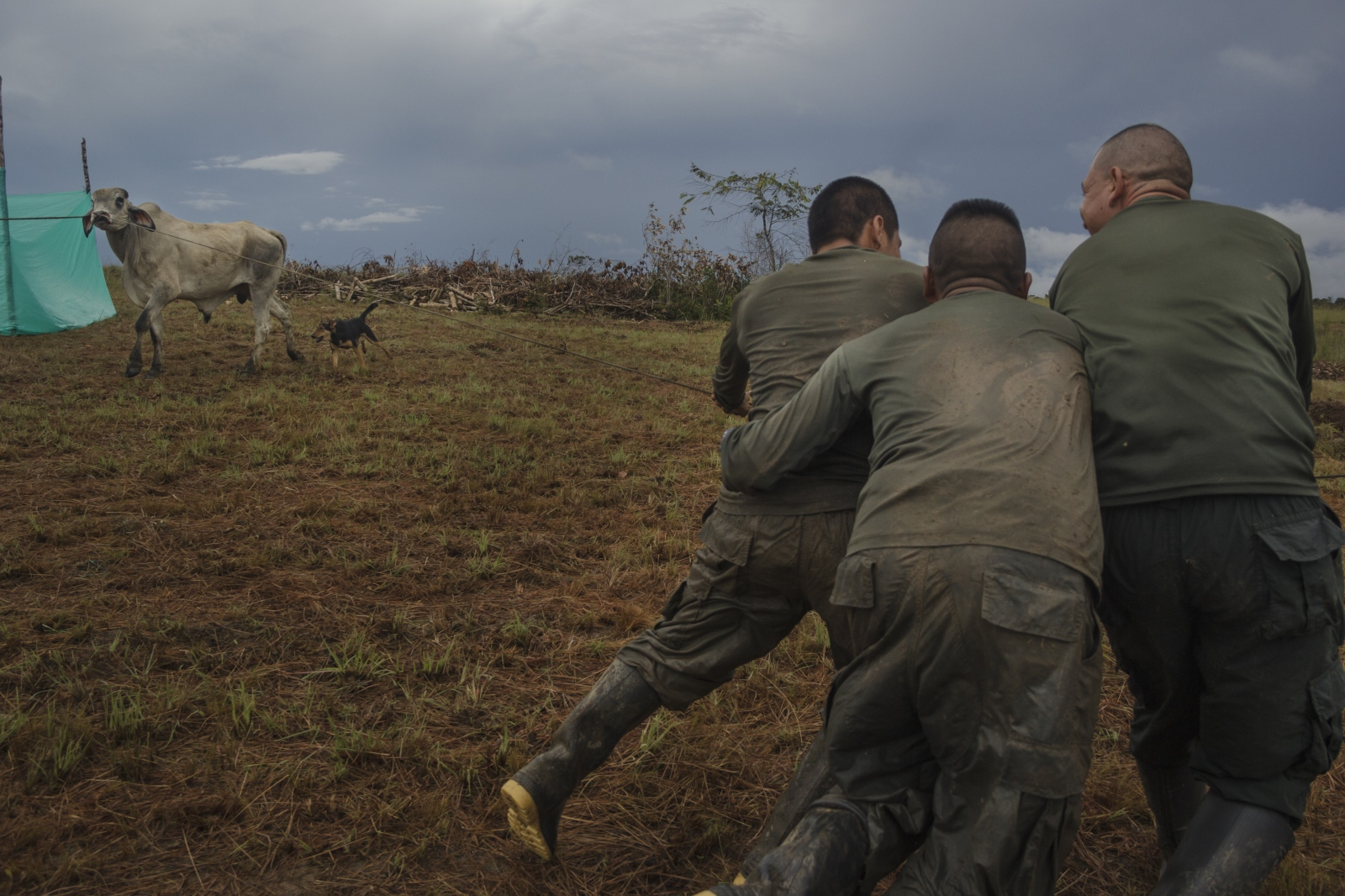 FARC EP guerrillas mobilizing cattle to sacrifice it