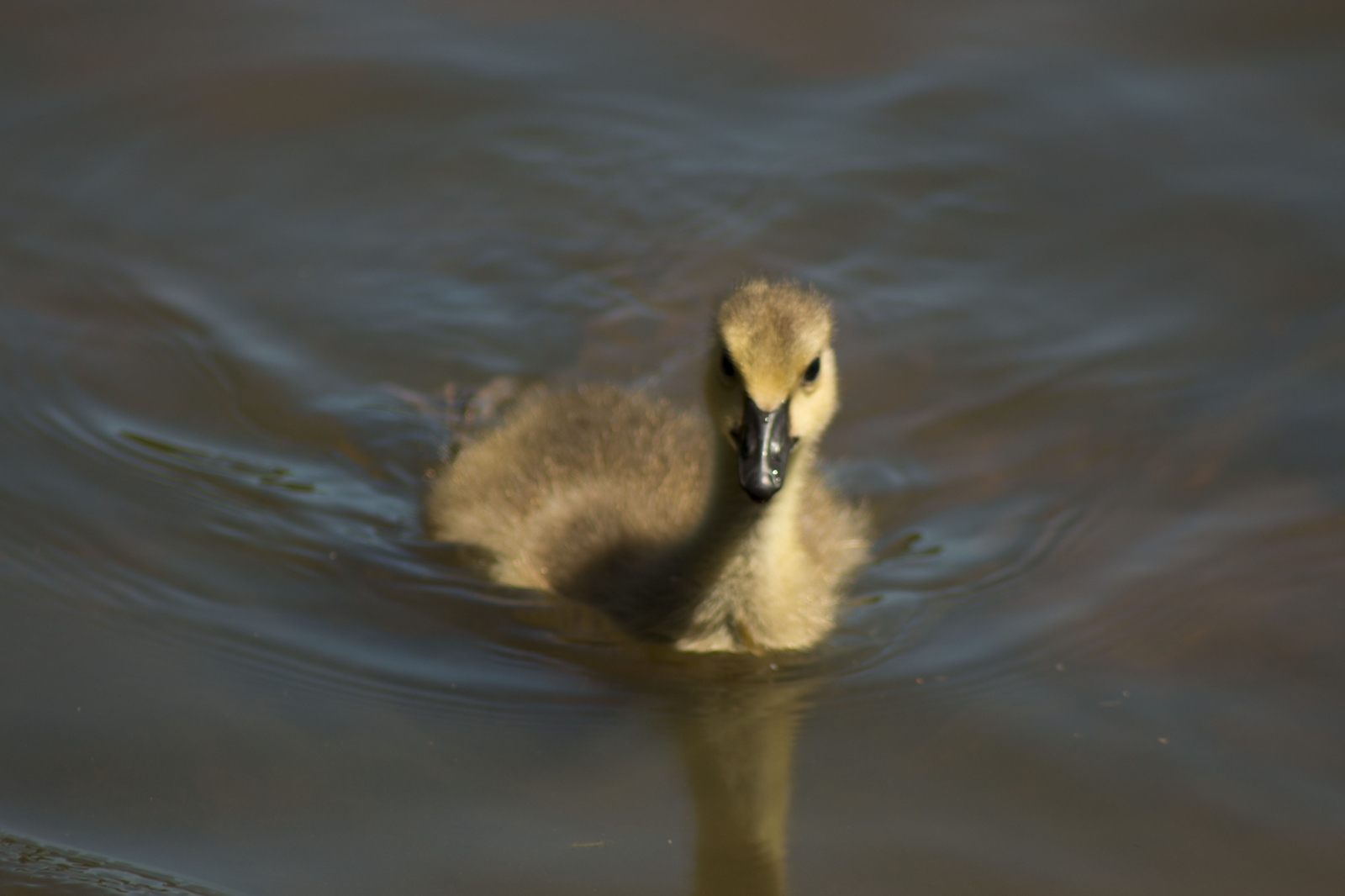 The Swimming Baby Goose