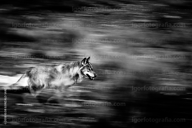 ZAMORA (Spain). An Iberian wolf runs. This is...