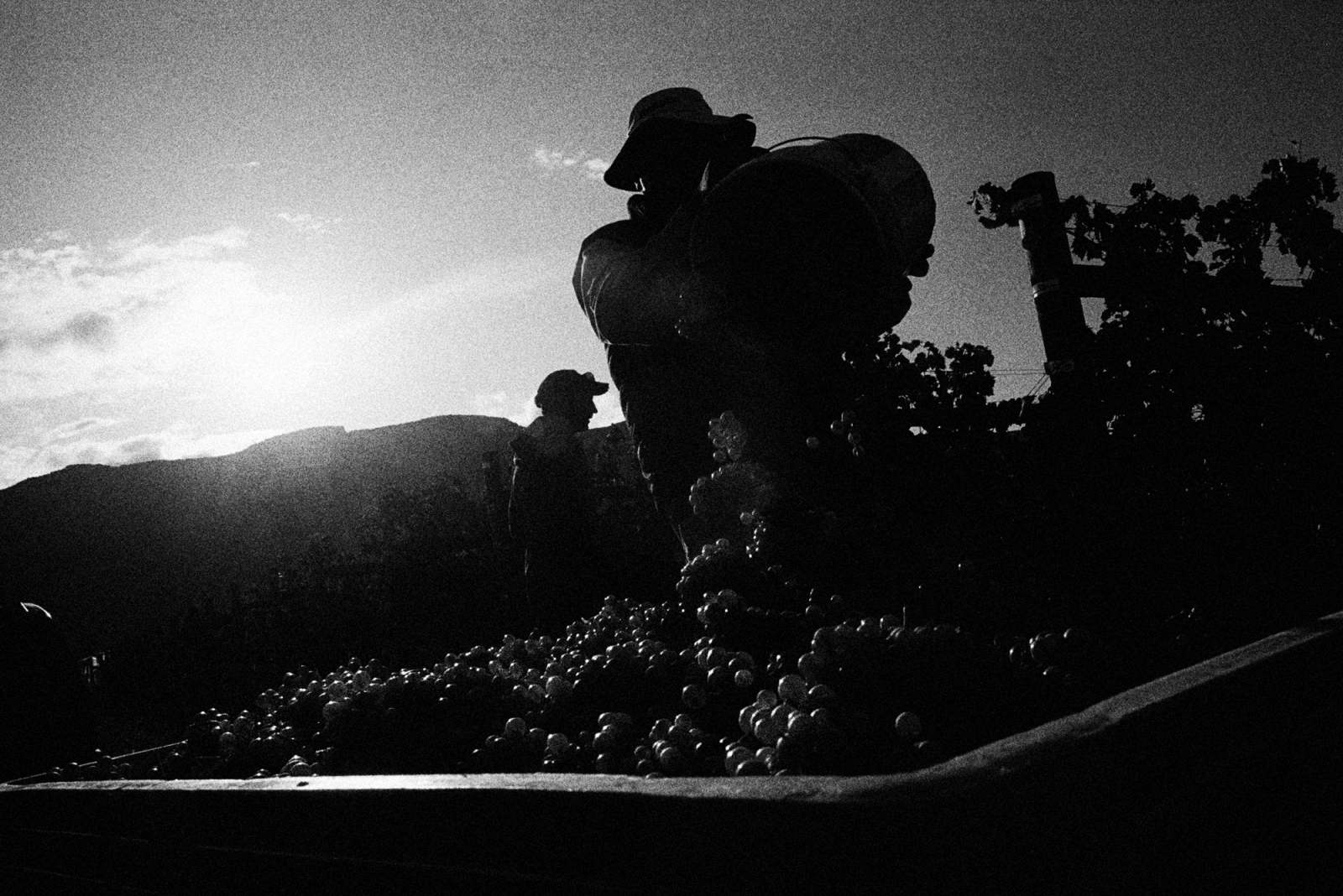 Mexican agricultural workers pick grapes on the fertile lands near Grand Junction, Colorado. Seasonal workers migrate the thousands of miles from Mexico to Colorado every year to pick the grapes that create the region's wines.