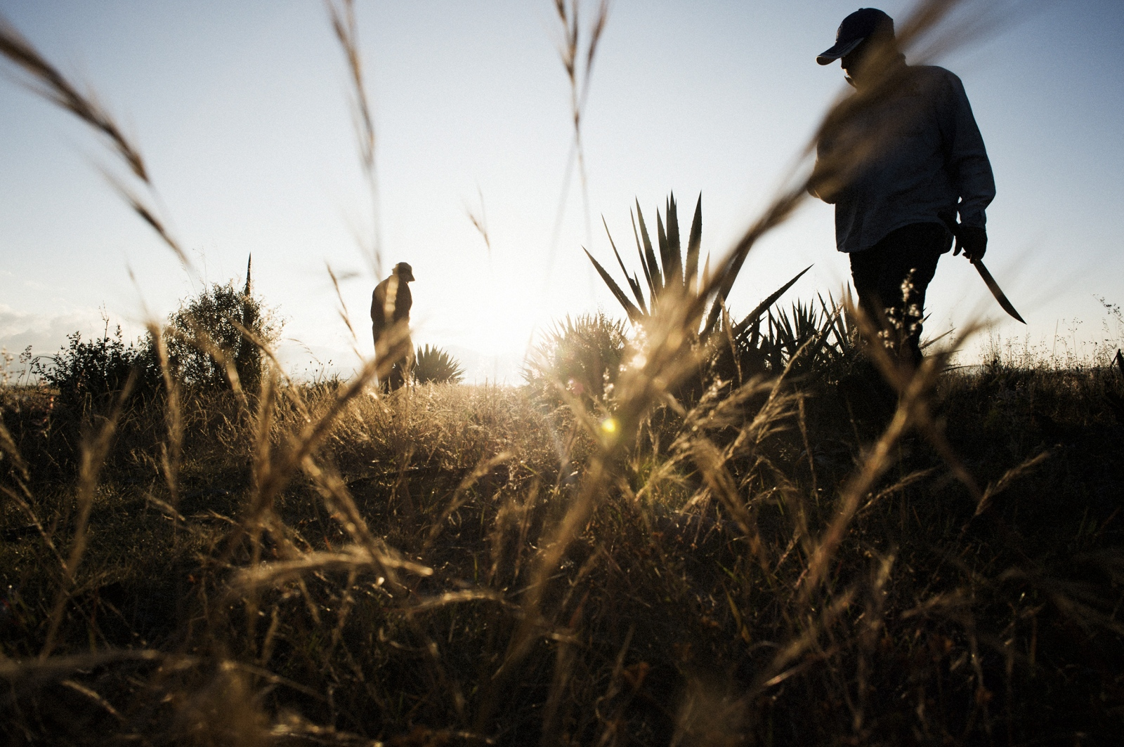 Workers use machetes to harvest agave in the fields near Santiago Matatlan, Oaxaca, Mexico. Matatlan is one of the main mezcal producing regions in Oaxaca, and therefore the world. The majority of the mezcal is still produced artisanally by families who have been producing mezcal in the same traditional manner for generations.