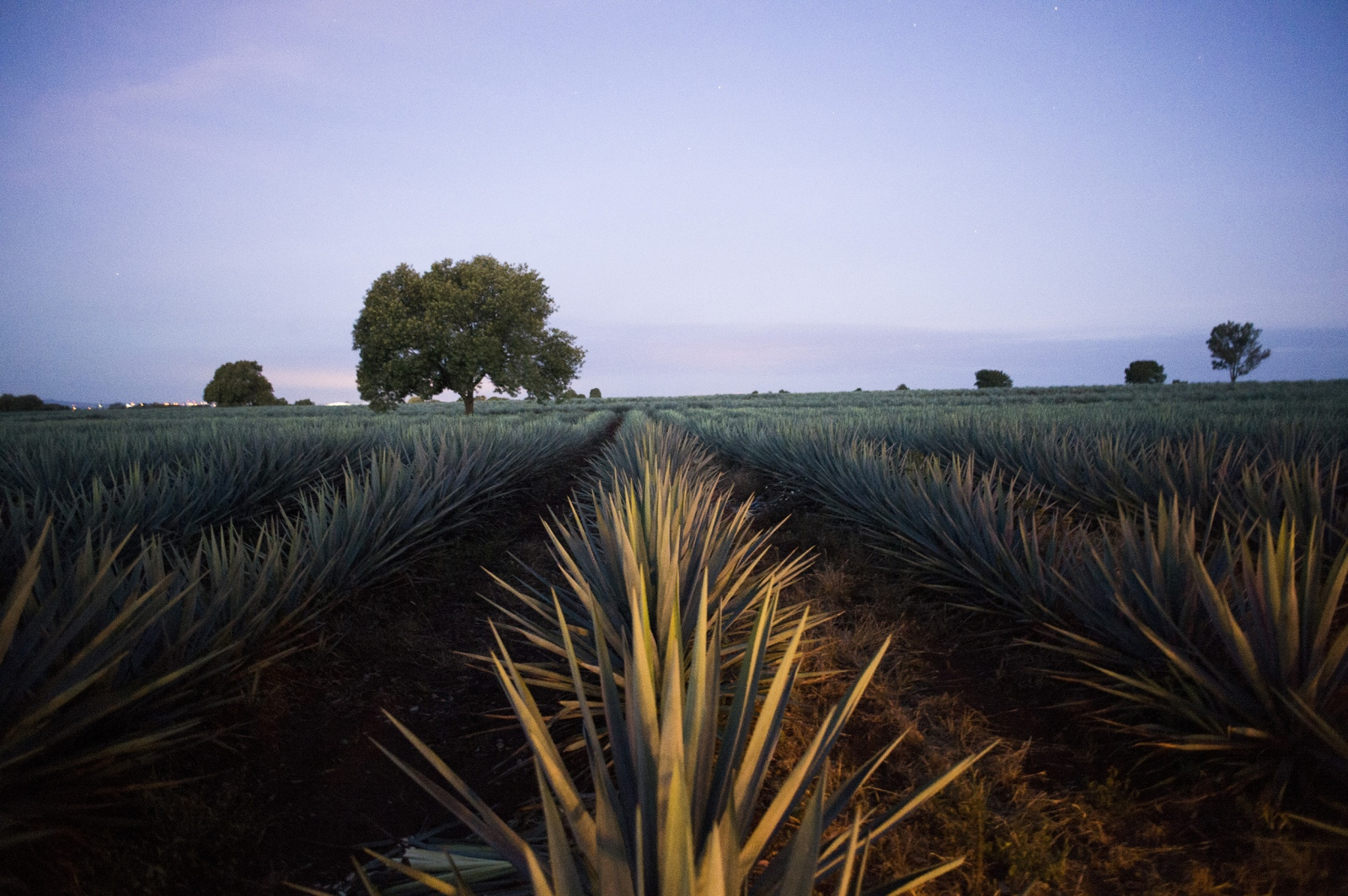 Sun rises over an agave field.