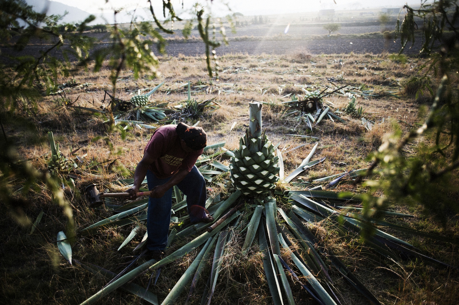 "A jimador, or agave worker, uses traditional tools to strip an agave of its sharp spines and remove its ""piña"" from the ground."