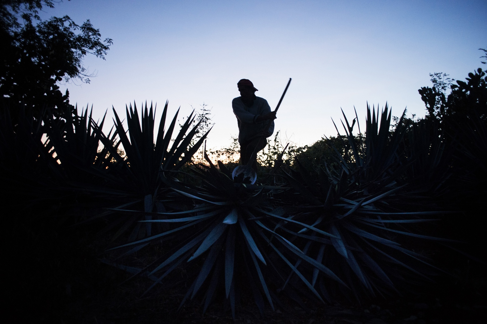 A jimador uses traditional hand tools to harvest an agave in the fields, before the sun rises.
