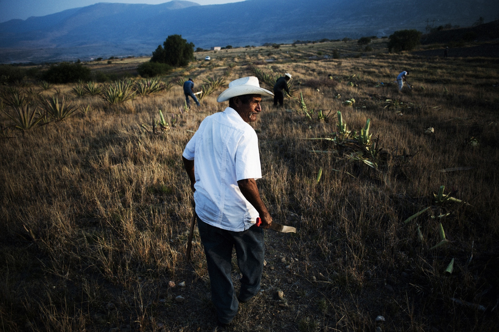 Jimadores harvest agave in the fields surrounding Santiago Matatlan, Oaxaca, Mexico.