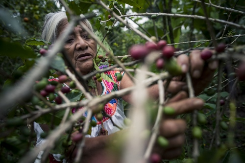 Micaela Perez, the yerbera in Cuetzalan, Sierra Norte, Puebla. She heals prescribing herbal remedies, including teas and poultices, or plant blends for smudging and burning. She also help woman to give birth. She learnt from her grandmother, she started watching and helping her when she was 10 years old.