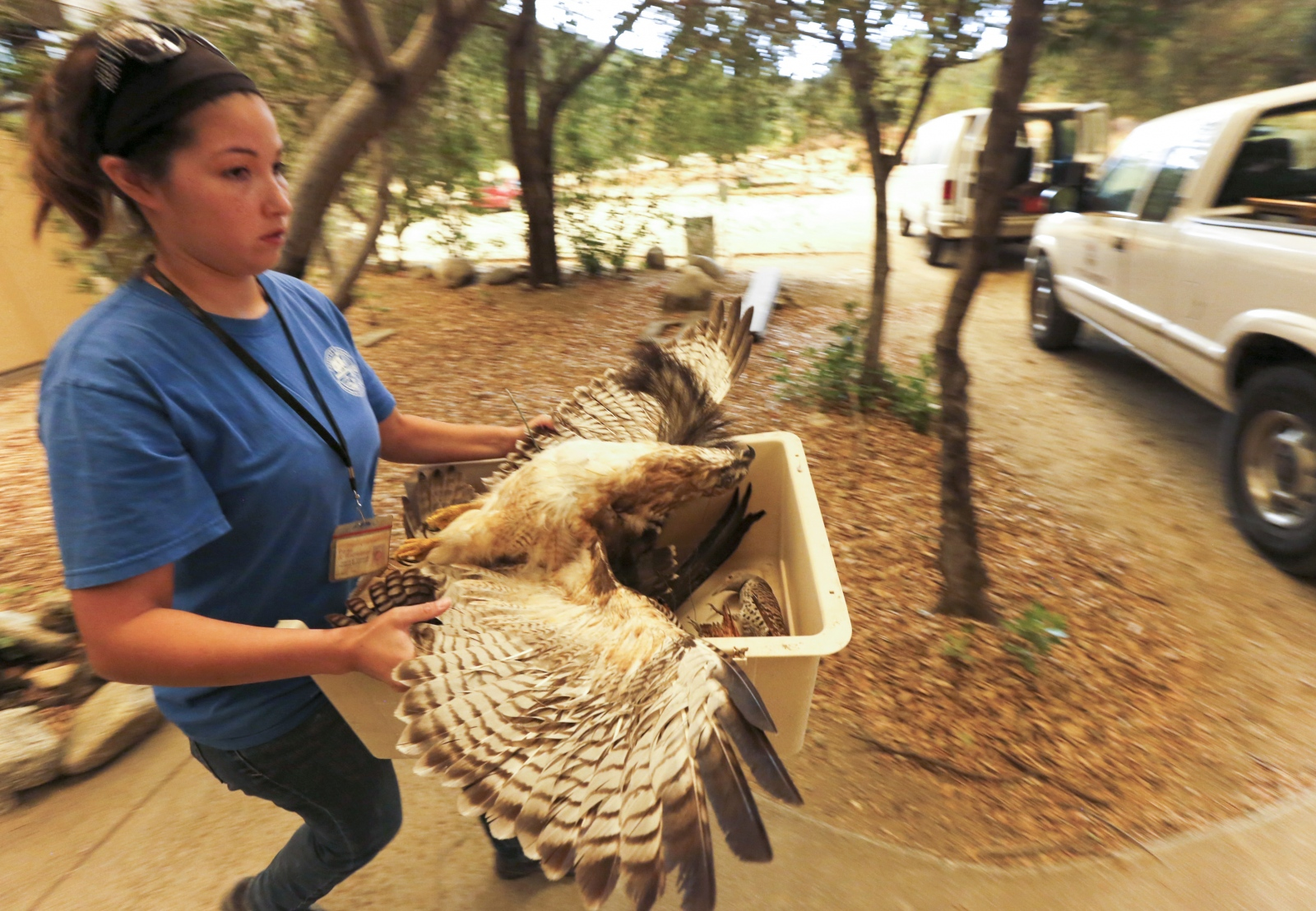 A volunteer loads up a taxidermied hawk into a county vehicle at the Placerita Canyon Nature Center on Placerita Canyon Road evacuate their facility on Saturday, July 23, 2016. Ranger Frank Hoffman said he had been evacuated from the center 14 times in his more than 20 years at the center. Katharine Lotze/The Signal