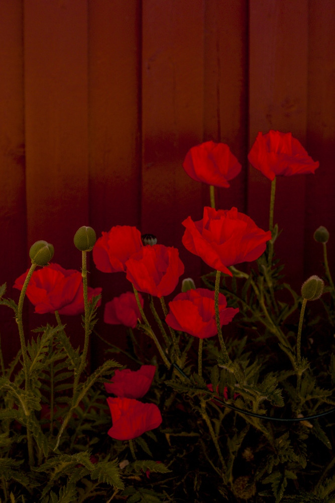 Kjelsås Ranunculus © Rachel Wolfe