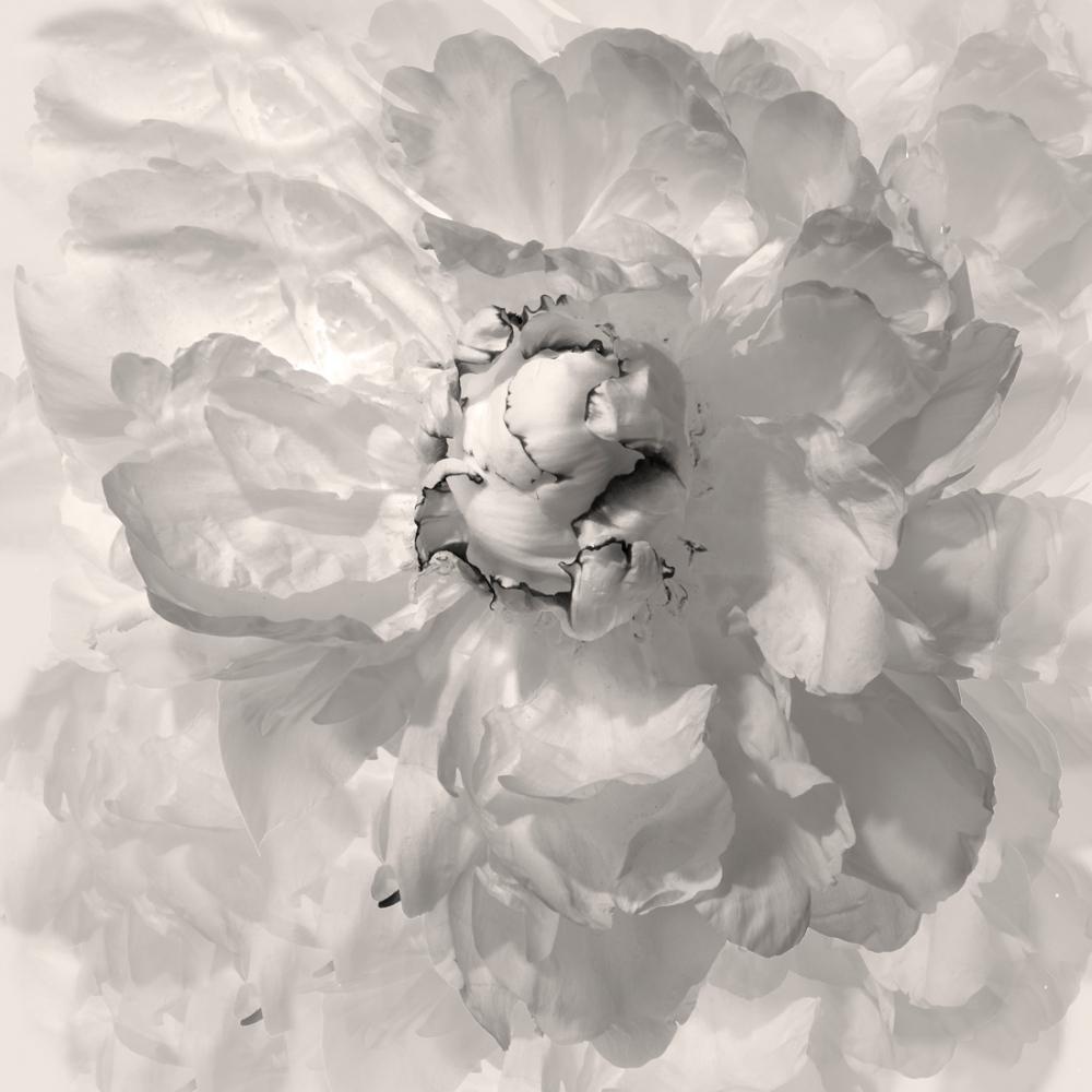 Art and Documentary Photography - Loading Flower-White-Peoni-6_multiple-2018.jpg