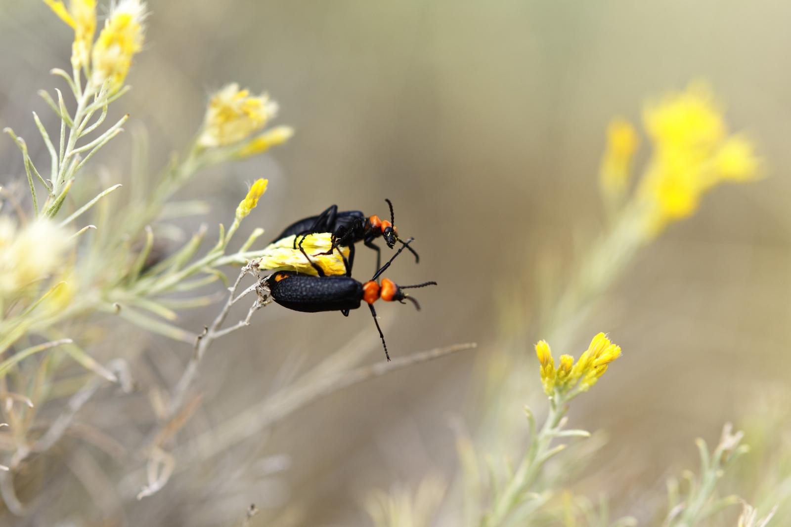 Soldier beetles in the desert of Eastern Washington.