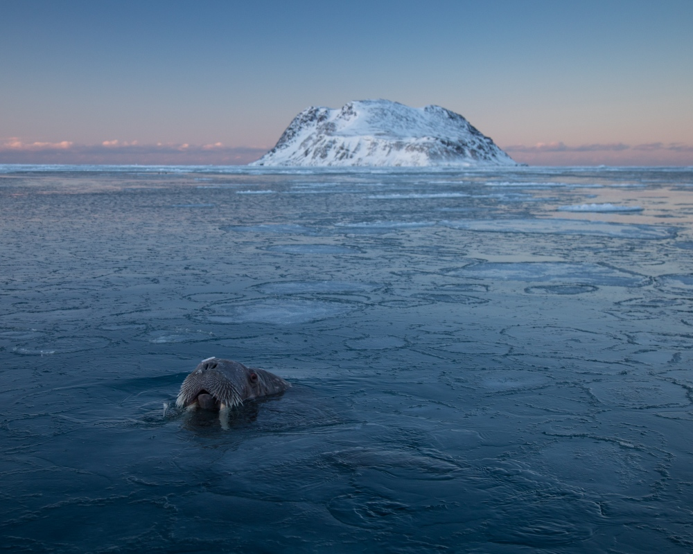 Photography image - Just returned from a late-winter expedition around the Svalbard Archipelago with the M/S Freya. Astounding quality of light, sea ice and wildlife encounters. Here's my favorite shot of the trip, taken with a wide-angle lens -  a curious walrus that surfaced about 2 meters in front of my face on a calm, wintery evening. Love the Arctic, love the sea ice.   Now in Gothenburg, Sweden for a week until it's time for the next adventure. I'll be posting along the way on Instagram at @acacia.johnson. See you there!