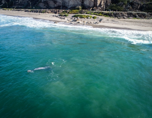 Drone - Migrating whales