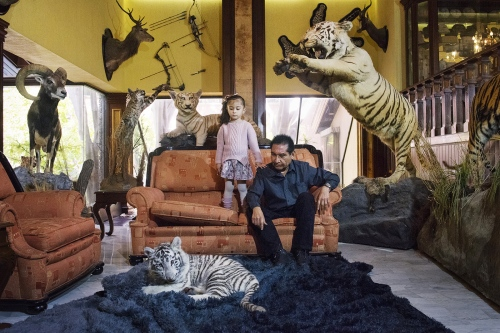 "Sergio, mexican politician, with his 5 year old daughter and his white tiger cub in their living room in Tehuacan, Puebla, Mexico. He's teaching her how to approach the cub without being afraid. He has got around 500 animals in captivity, mostly exotic in a zoological park beside his home called ""Los Animalitos"", that means the little animals. When they die he stuffs them to add to his collection in their house."